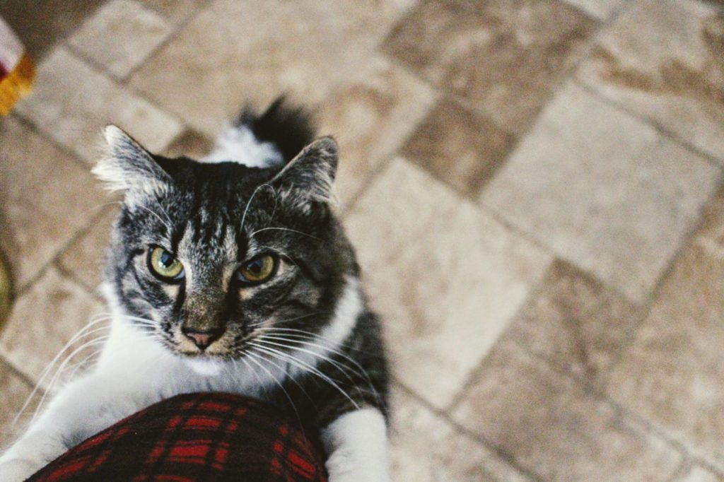 how to get your cat to eat after illness