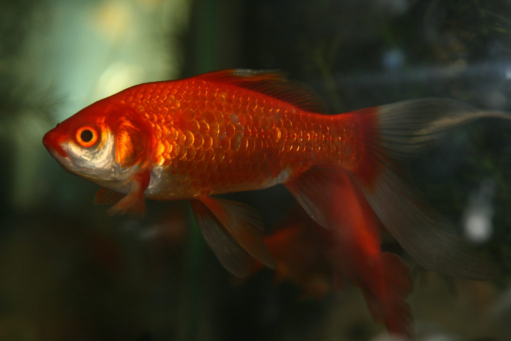 Best fish food for goldfish