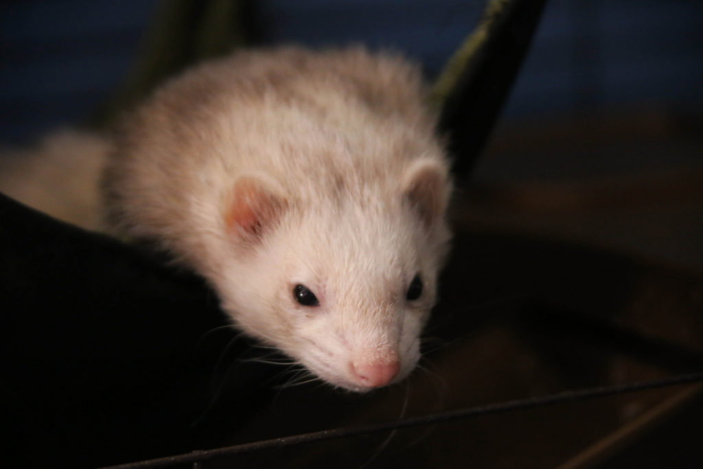 Ferrets Page 2 A Home For Pet Owners