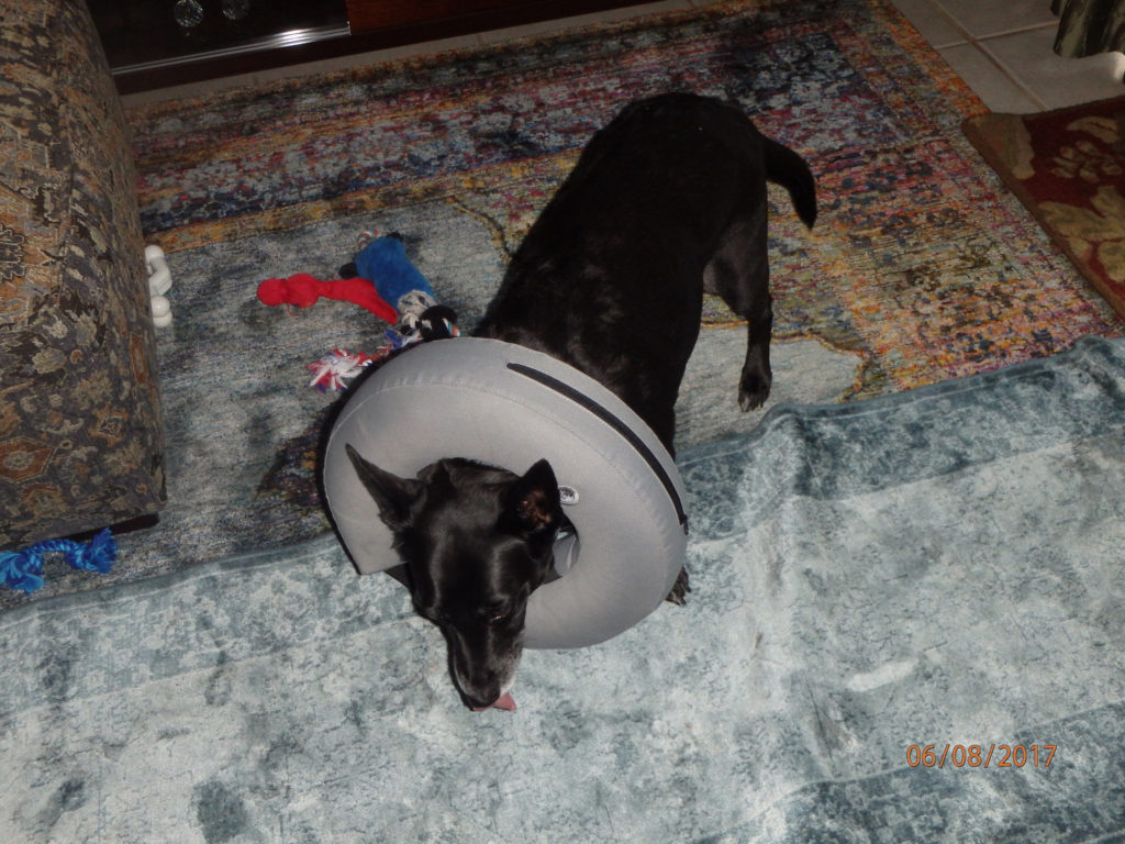Get your dog to sleep with a cone on.