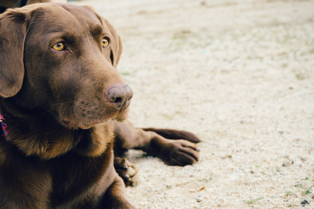 The best dog food for labradors
