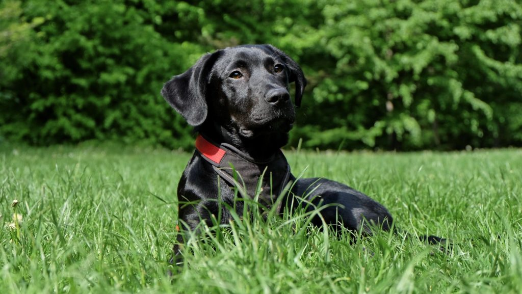 What to feed your labrador for it to be healthy.
