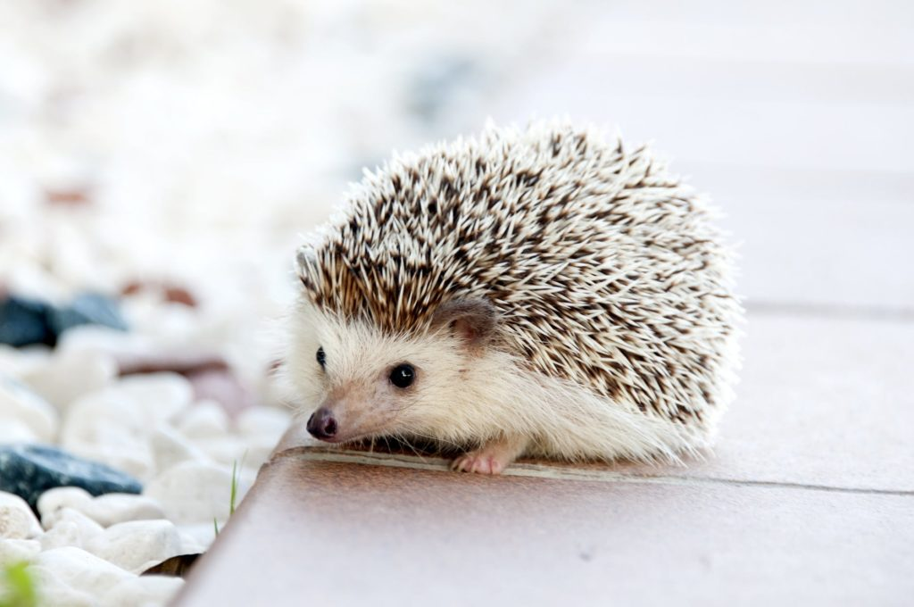 A pet hedgehog playing in good health due to the foods it eats.