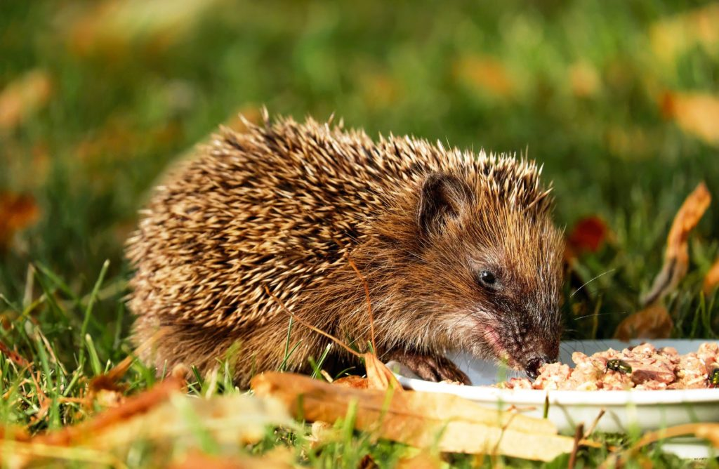 Fattening up your hedgehog.