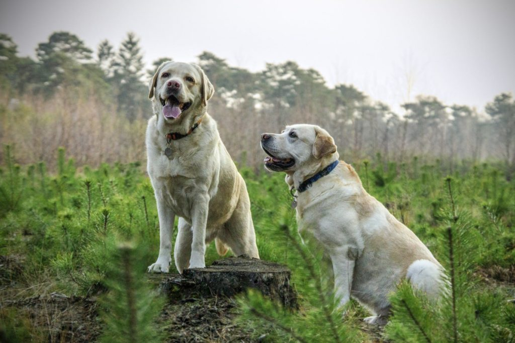 Healthy Labradors outdoors from eating the best food for labradors.