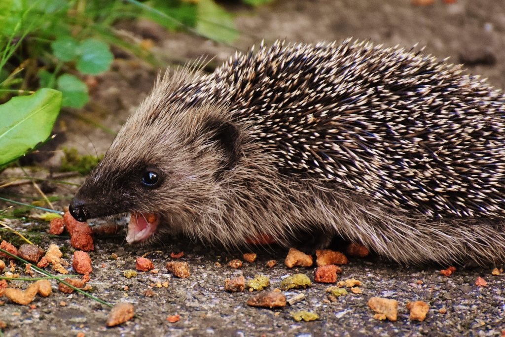 A hedgehog snacking on treats in a garden.