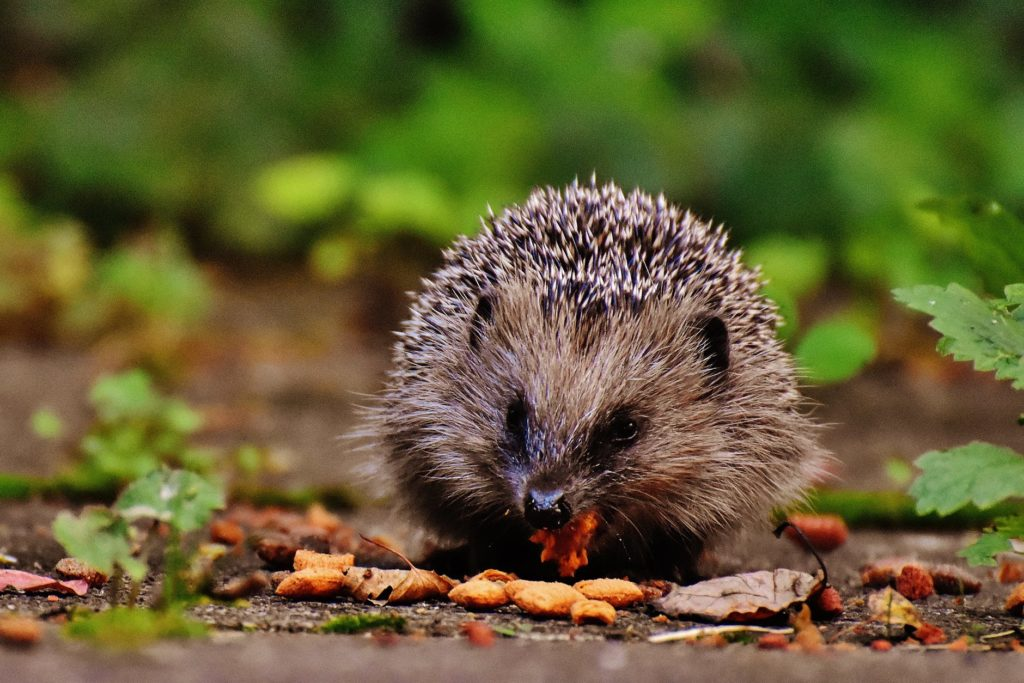 A hedgehog eating some treats in a garden.
