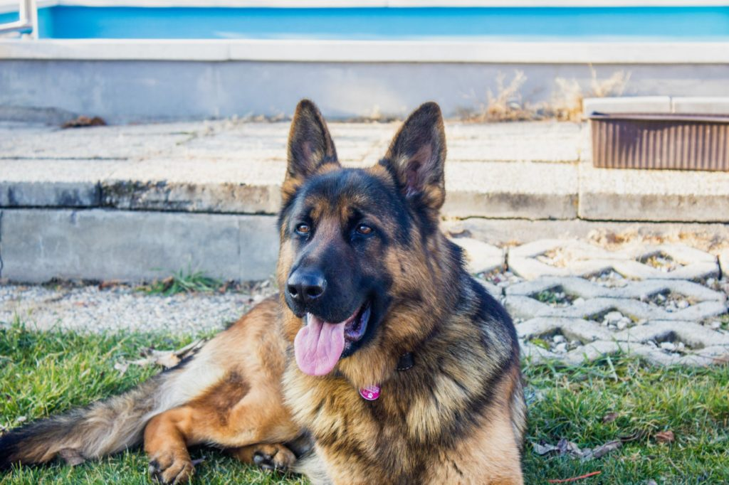 How To Get Your German Shepherd To Lose Weight!