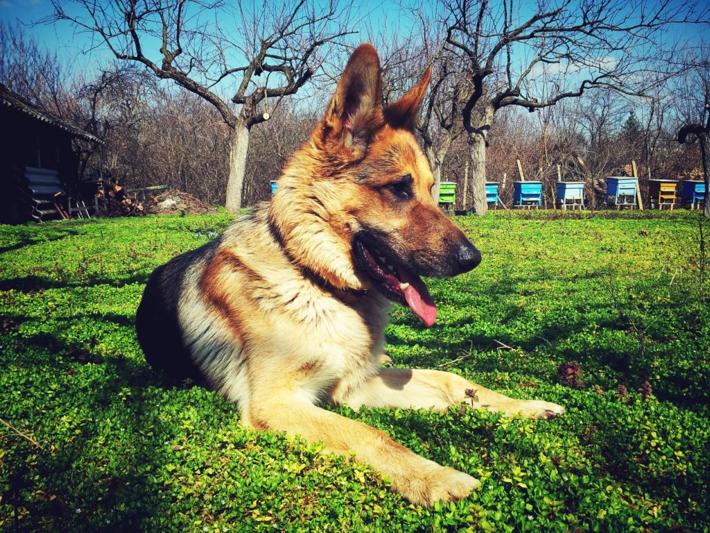 Train Your German Shepherd Not To Pull On A Leash!