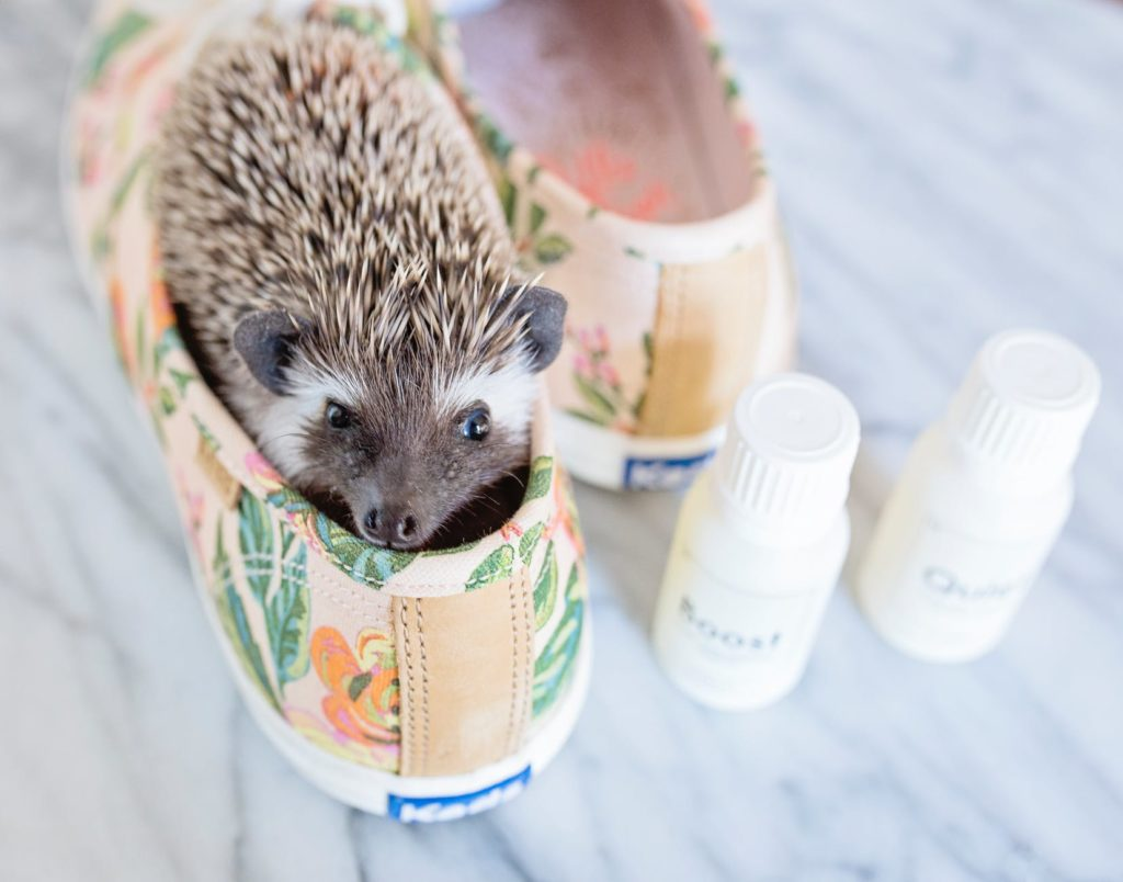 A healthy hedgehog playing in a shoe living on a healthy balanced diet.