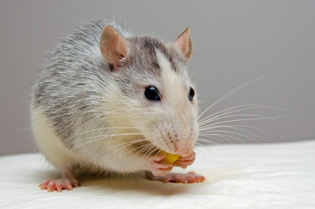 The Best Cat Litter For Rats!