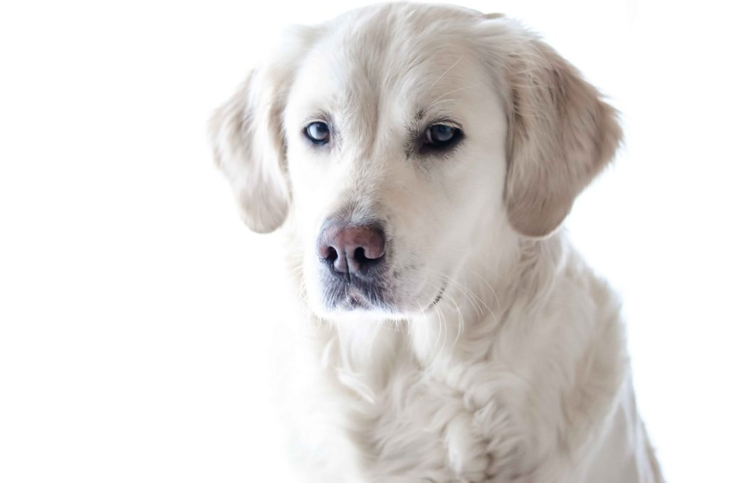 Make Your Labrador Healthy.