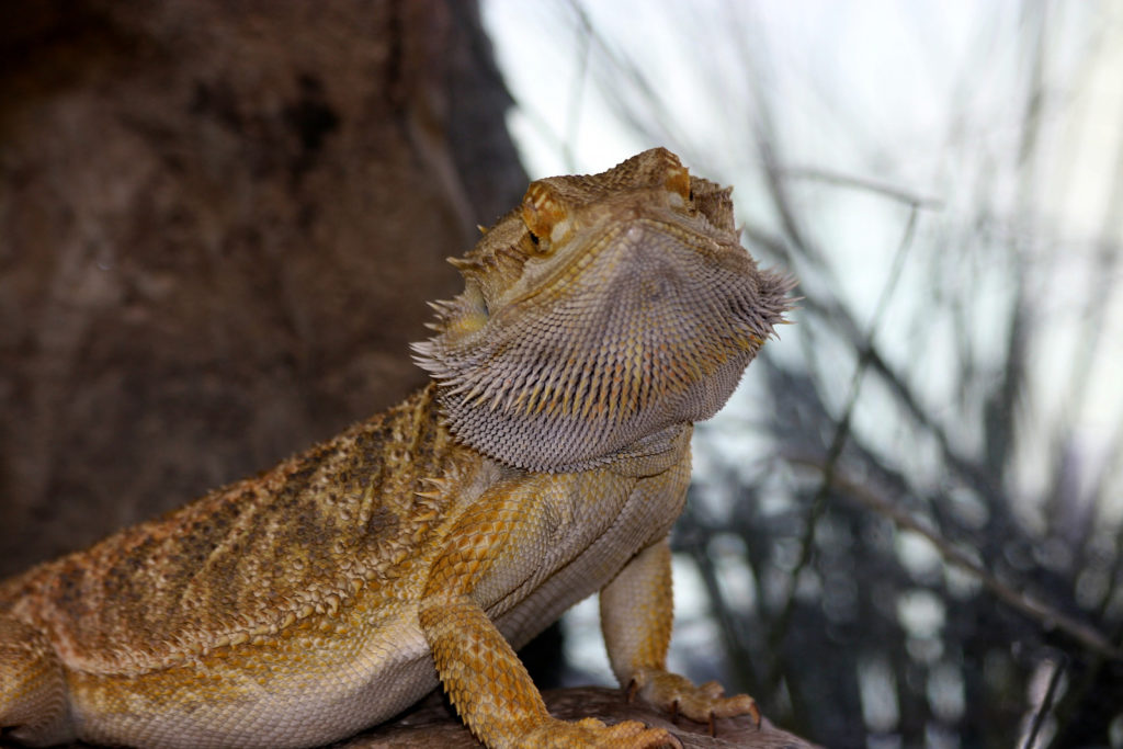 A bearded dragon standing under its heating lamp keeping warm.