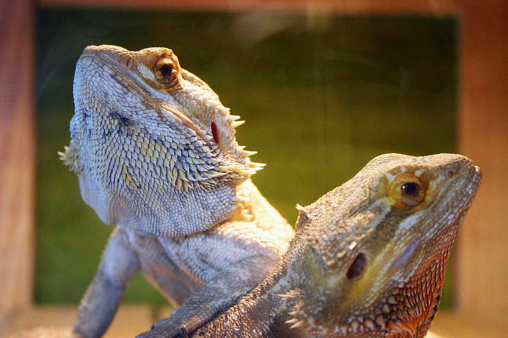 Two bearded dragons laying under a basking bulb.