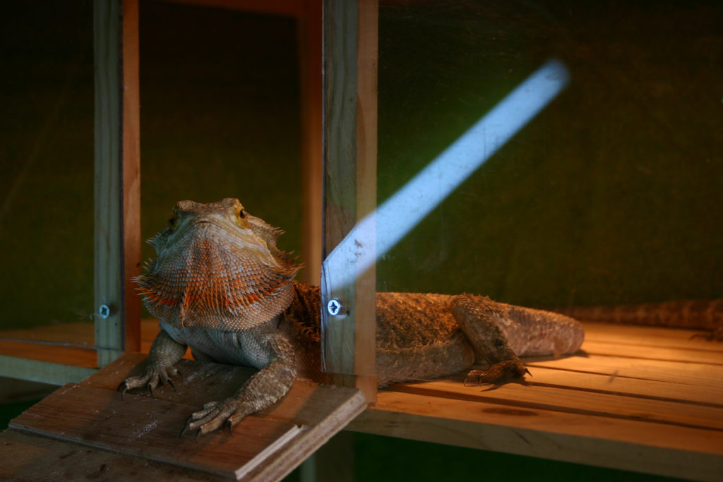 A bearded dragon laying by its heat lamp relaxing.