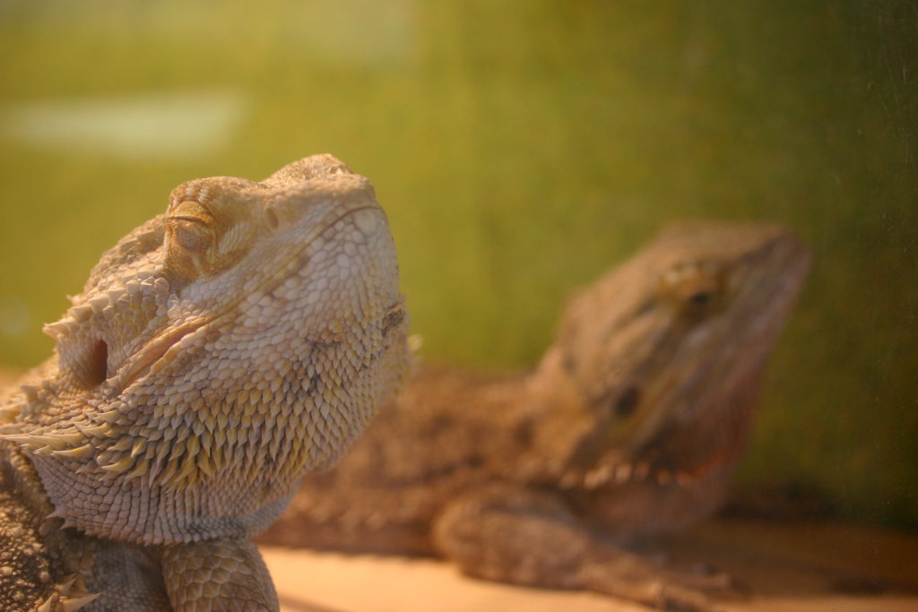 Two bearded dragons relaxing under a heat lamp.